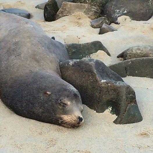 La Jolla Sea Lion